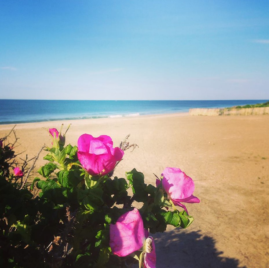 Matunuck Town Beach Rose.jpg